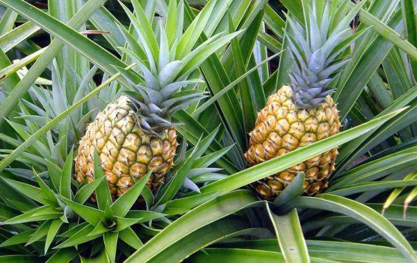 Piñatex – кожа от ананас набира скорост в модата