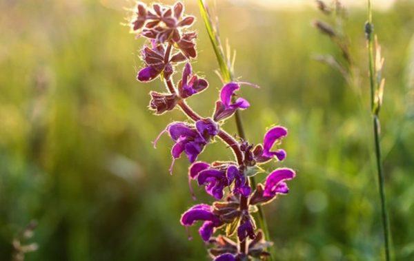 Салвия – магичната билка, която е задължителна за жените