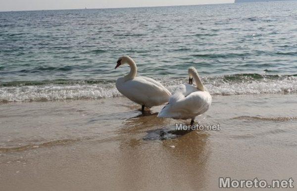 Пристигнаха първите лебеди на плажа във Варна (снимки)