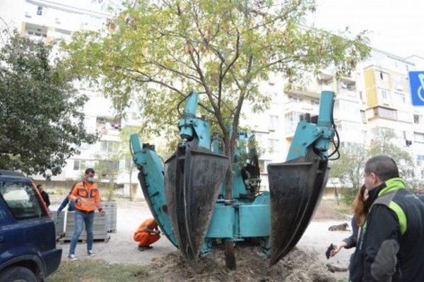 Във Варна преместиха дърво със специална машина заради паркинг (снимки)