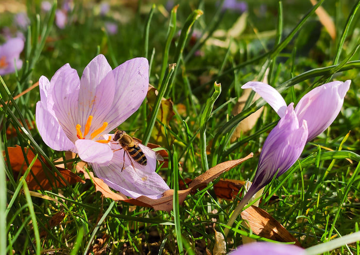 Поникнаха първите минзухари в Морската градина във Варна (СНИМКИ)