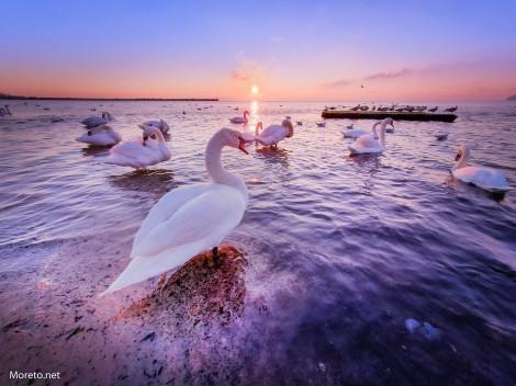 Лебеди в морето – символът на зимна Варна
