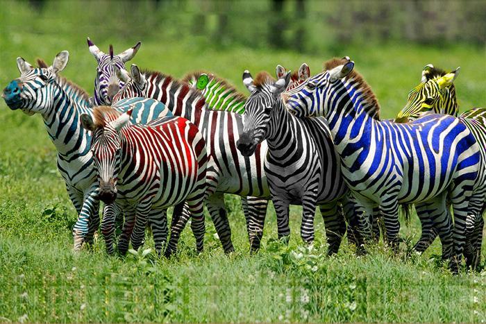 Към 16,00 часа: четвъртата зебра дръпва още малко пред петата